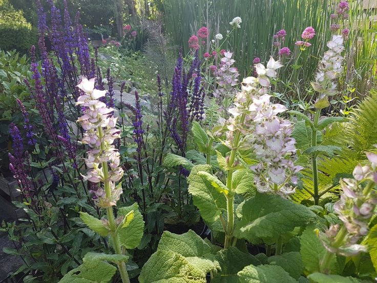 Salvia Sclearea en Salvia Caradonna