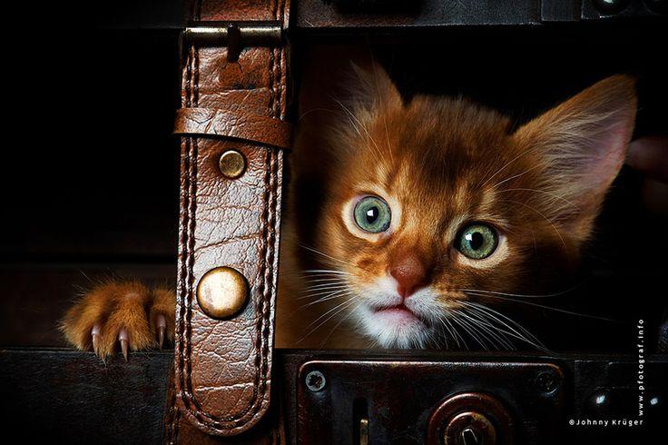 Somali cat - Somalikatze - www.pfotograf.info