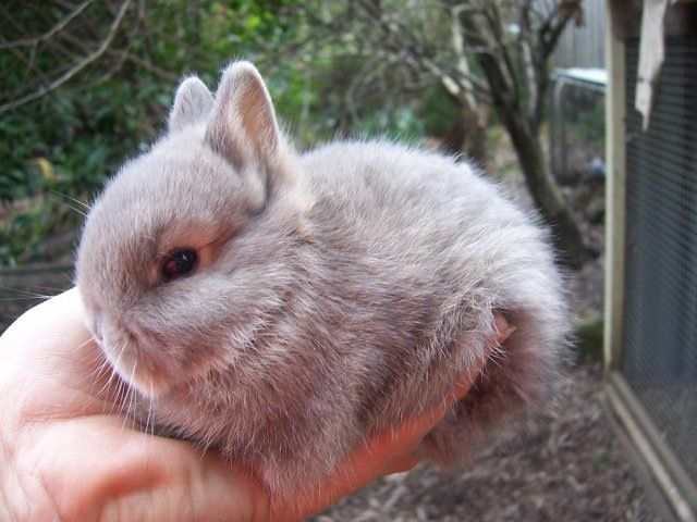 Netherland Dwarf Bunny <3 my favorite breed of rabbits! They are soo tiny & adorable!