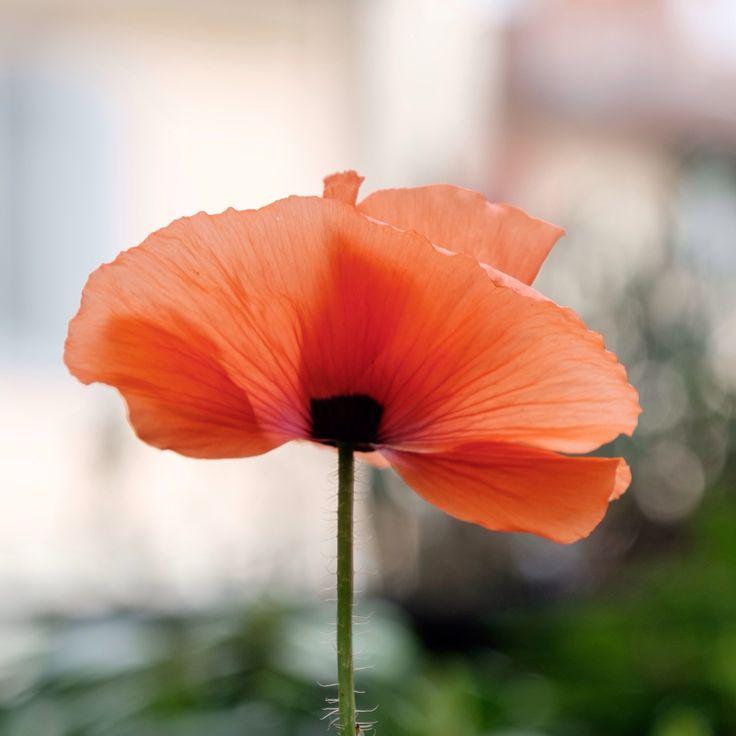 My beautiful light poppy!