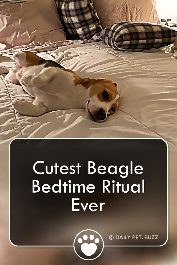 Oliver The Beagle Has A Cute Little Bedtime Ritual He Performs