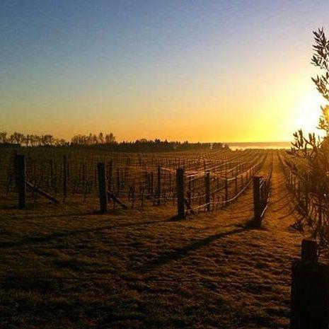 Sunrise in the Te Awanga vineyard