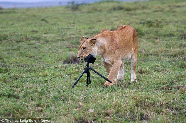 French engineer Thomas Selig, 28, was able to capture some hilarious images of lions in the safari park