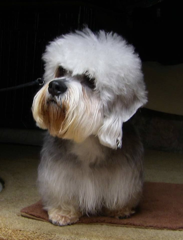 Love this cute little breed!   Dandie Dinmont Terrier - photo by Anita Kay Simpson