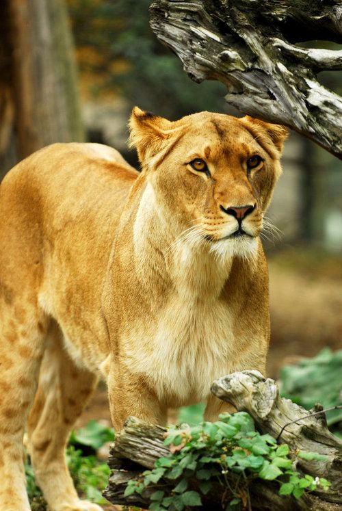 Lioness by *Shadow-and-Flame-86