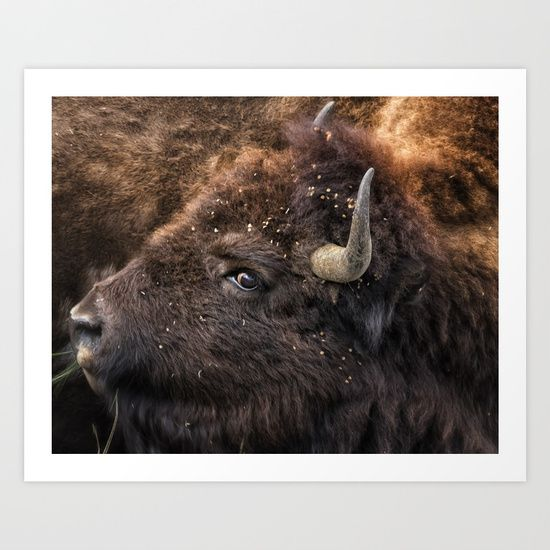 Art Print  ||  One of the many buffalo or bison in Yellowstone National Park. I did get stuck in a bison traffic jam this visit.  This was a crop- it is all him. He is turning his head around to his body. I used this same photograph in Spirit of the Past.<br/> <br/> bison, buffalo, closeup, portrait, ungulate, yellowstone, belinda greb, nature, animal, mammal, looking, stare, nose, fur, field, brown, detail, outdoor…