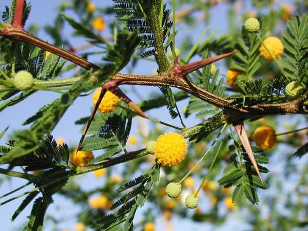 Acacia caven | Trees | Patagonia Plants