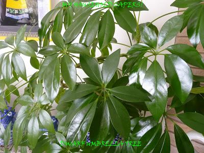 Umbrella plant care guide http myhouseholdcapers for Easy care indoor plants