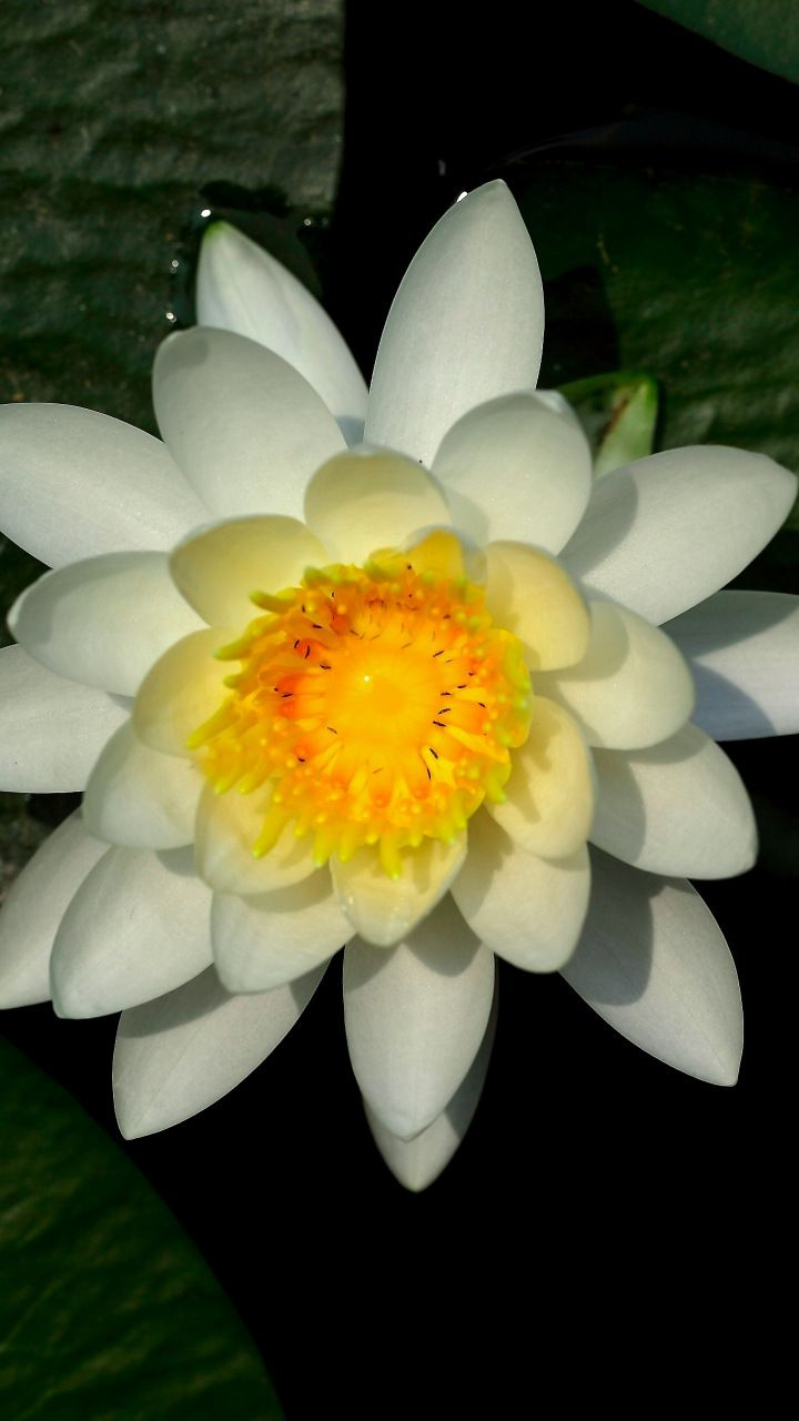 Water Lily White Flower Leaves Bloom 720x1280 Wallpaper Water Lily Bloom Flowers Wallpaper lily white flower pond leaves