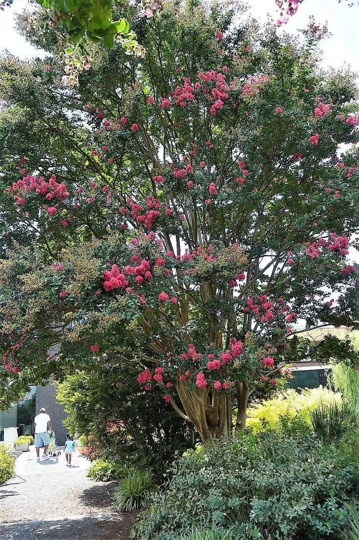 Best 25 small trees for garden ideas on pinterest small lagerstroemia indica tuscarora common name crape myrtle plant story long period of striking flower color attractive fall foliage fabulous nvjuhfo Choice Image