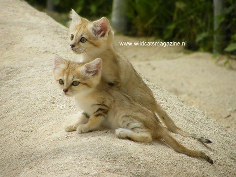 The Sand cat (Felis margarita)
