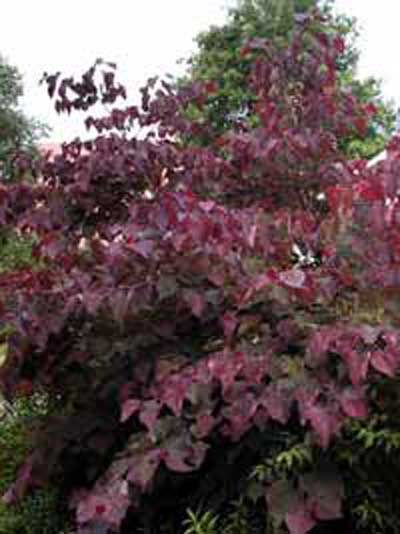 Cercis canadensis 'Forest Pansy' / Amerikanischer Judasbaum 'Forest Pansy'