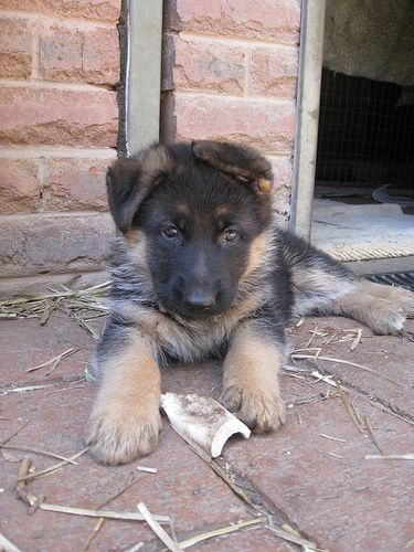 German Shepherd puppy, via Flickr.