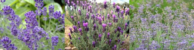 EVERYTHING LAVENDER,,,English, Spanish, Spike, Lavandula angustifolia, stoechas, latifolia