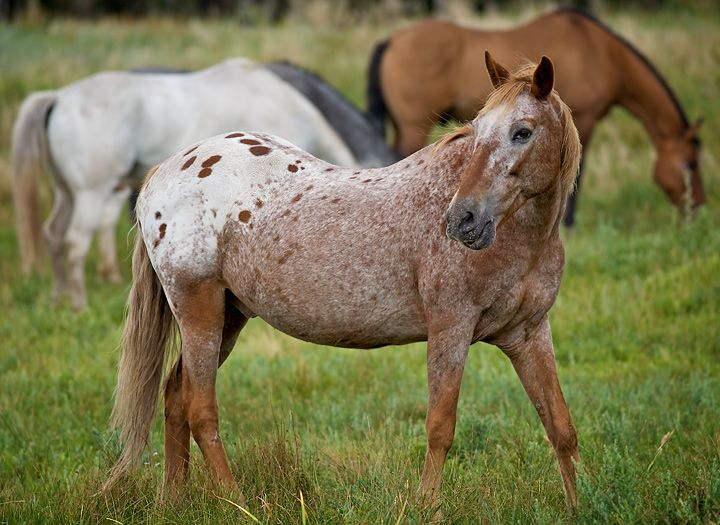 Strawberry Roan Appaloosa :) | Roan Horses | Pinterest ... - photo#28