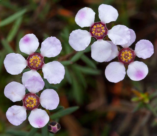 Euromyrtus ramosissima - Rosy Heathmyrtle by Bill Higham, via Flickr