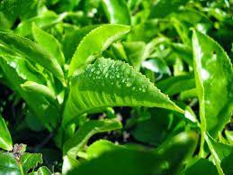 Terapi Herbal, Buah dan Sayuran : Daun Teh Hijau, Belimbing Manis dan Temulawak untu...
