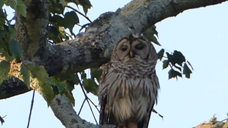 This Super Cool Owl Doesn't Give A Hoot When A Group Of Birds Attack Him.