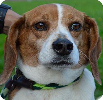 Westampton, NJ Beagle. Meet Romeo D58613 a Dog for