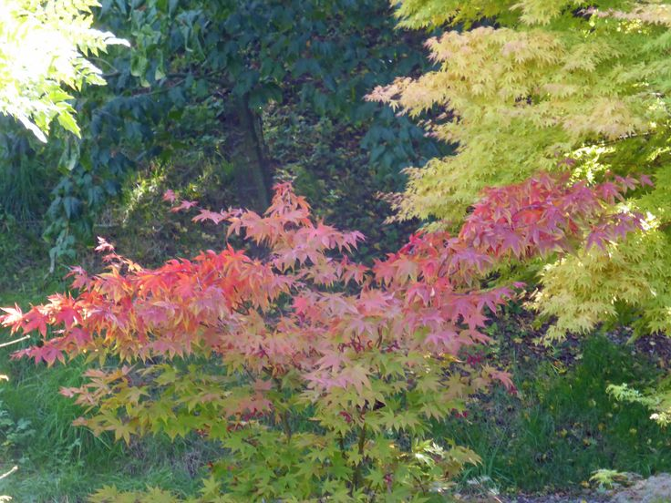 Delicate colourful acers