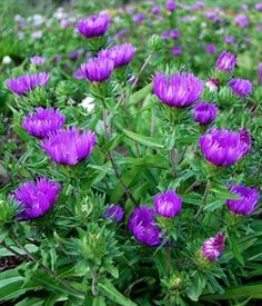 Honeysong Purple Stokes Aster - 1 Gallon - Stokesia - Stoke's Aster - Buy Plants Online