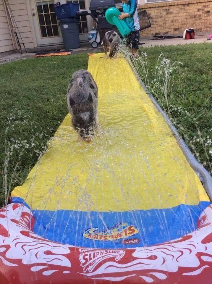 Mini Pig Enrichment Fun
