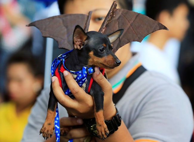 フィリピン・マニラ首都圏のショッピングセンターで開かれた仮装パーティー=ロイター / A man shows his Pincher dog wearing a bat costume as they take part in 'A Petrifiying Trail Pet' costume party at a mall in Pasay city, metro Manila, Philippines October 23, 2016. REUTERS/Romeo Ranoco