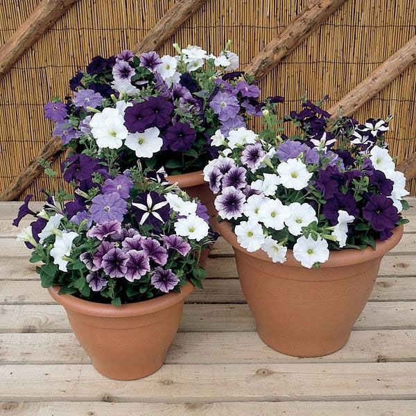 Small Garden Yard With Cute Purple Plants Contemporary: 25+ Best Ideas About Petunias On Pinterest