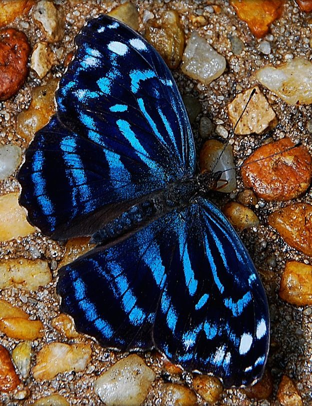 ༺ ʚįɞ Beautiful ༻ :: Tropical Blue Wave Myscelia Cyraniris Butterfly