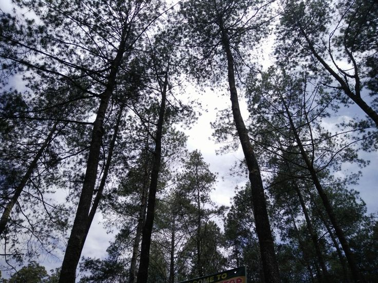 Green pine forest, Lembang