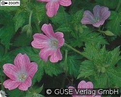 Garten-Storchschnabel (Perennials for beds, border & cut)