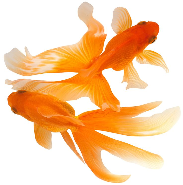17 Best ideas about Goldfish on Pinterest | Fantail goldfish, Fish ...