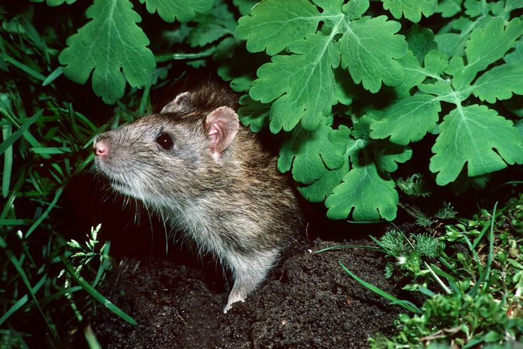 Discover 10 ways to prevent or get rid of rats in your garden, including removing bird feeders, with advice from BBC Gardeners' World magazine.