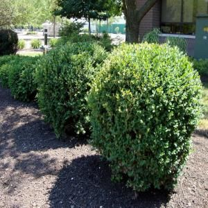 OnlinePlantCenter 2 gal. Green Mountain Boxwood Shrub-B00415 at The Home Depot