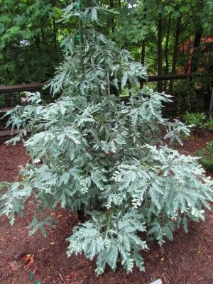 <em>Sequoia sempervirens </em>'Simpson's Silver' at the garden of Scott and Julie Antrim, Lake Wylie, South Carolina. | Photo by Tom Cox