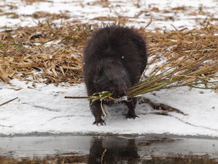 beaver in winter time
