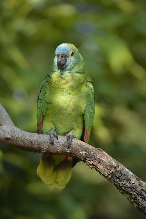 Blue Fronted Amazon Parrot Perroquet Amazon à front bleu