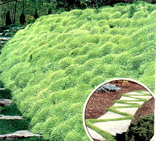 500 Bulk Irish Moss Seeds Heirloom Irish Moss by BeanAcresSeeds
