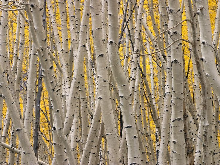 Aspen bark ash gray color (With images) Birches