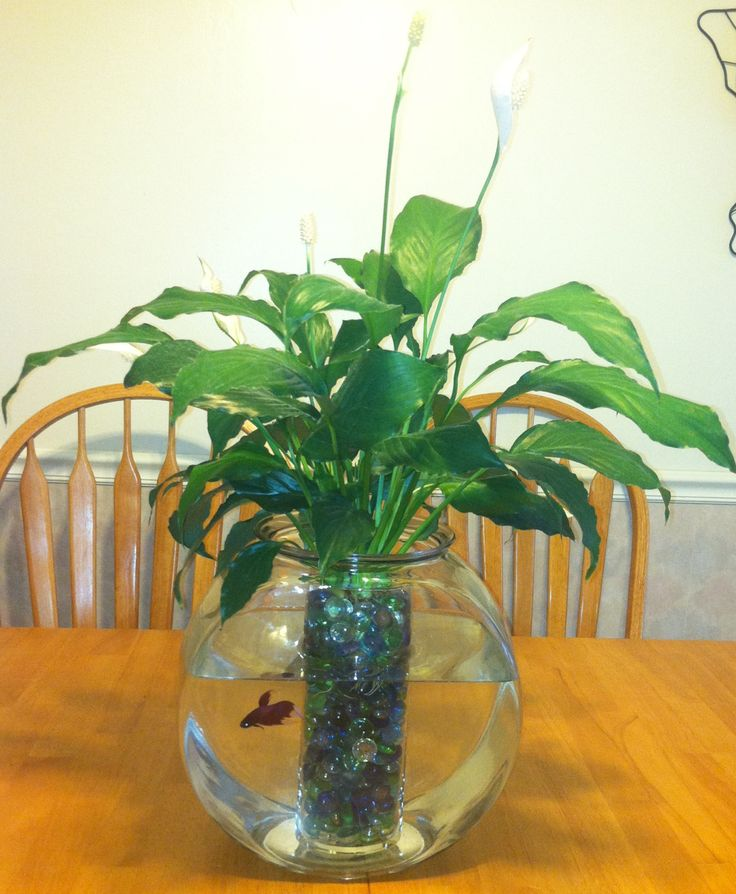 Peace lily plant betta fish books worth reading for Can you use distilled water for betta fish