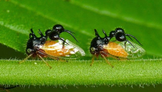 The Ant Mimicking Treehopper 蟻 ツノゼミ