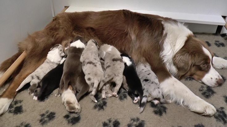 Puppies 1 week old | Australian Shepheds | Youtube Video