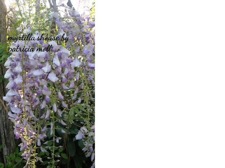 Glicine in piena fioritura http://hermioneat.blogspot.it/2016/04/unfiorealgiorno-26.html