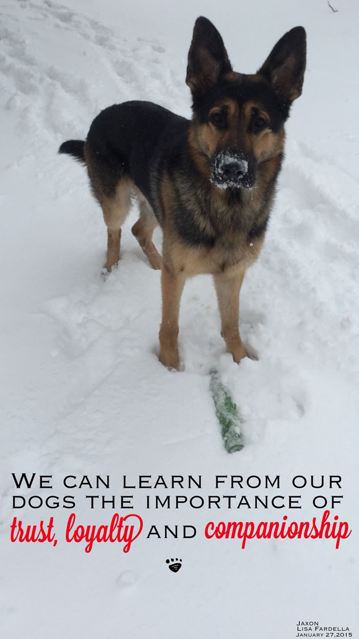 We can learn from our dogs the importance of trust, loyalty and companionship. Jaxon, my GSD. 1/27/15