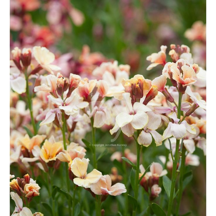 A wonderful mix of colours from apricot to cafe-au-lait. Try planting it with tulips 'La Belle Époque or 'Apricot Beauty'. Wallflowers are one of my favourite spring flowers, in the most wonderful rich colours, with one of the best-ever scents. They also make superb cut flowers. We should all grow more.