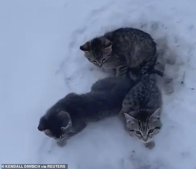 Canada Man Uses Cup Of Coffee To Free 3 Kittens Frozen To The Ground In 2020 Kittens Kitten Meowing Furry Friend