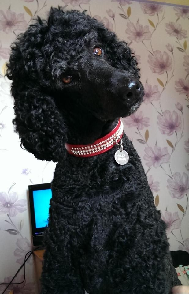 Polly - Standard Poodle <3