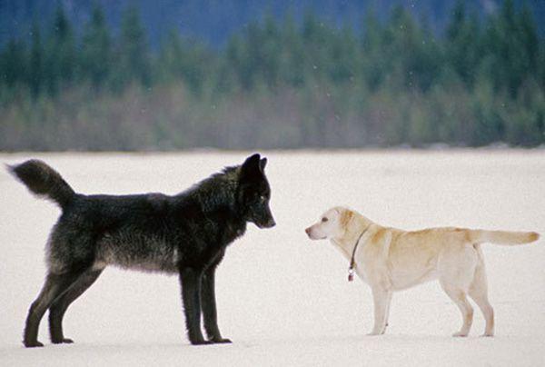 En 2003, dans l'arrière-cour de sa maison à Juneau (au Canada), le photographe Nick Jans et sonlabrador sont tombés nez à nez avec un loup sauvage d'Alaska.       Regardez !