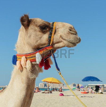 Camello en la playa en Dubai Foto de archivo