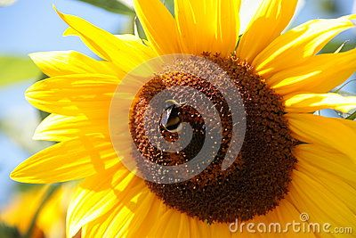 Sunflower - Stock Photos - Download From Over 61 Million High Quality Stock Photos, Images, Vectors. Sign up for FREE today. Image: 94491724